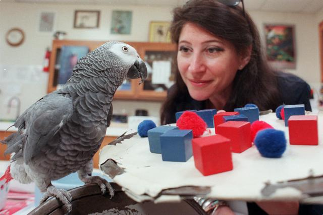Alex the parrot counts red and blue objects at the behest of his owner, Dr. Irene Pepperberg. Photo: Jeff Topping for The New York Times/Redux