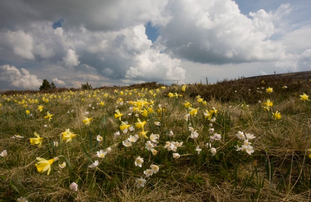 Wood Anemones  and Wild Daffodils  in Cevennes, France.
