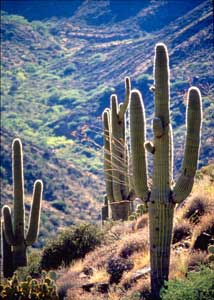 this cactus is one of many desert cacti that put out both flowers and fruit the saguaro flower is the state flower of arizona - Decorating Cactus For Christmas