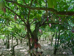 Chocolate comes from the cacao tree, which is formally known as Theobroma Cacao.
