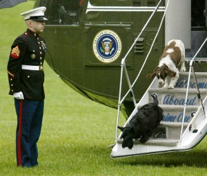 George W. Bush's dogs, Barney (bottom) and Spot (top) step off Marine One on the south lawn of the White House. (Reuters/Larry Downing)