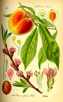Peach flower, fruit, seed and leaves as illustrated by Otto Wilhelm Thomé (1885)