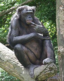 Bonobo in the wild