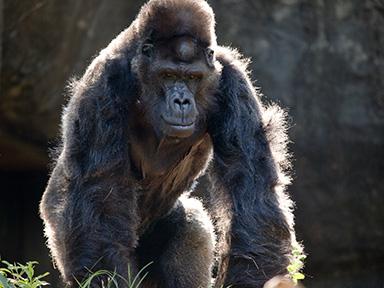 Ivan at Zoo Atlanta