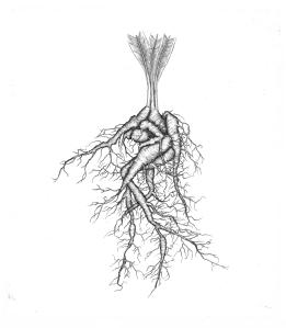 Mandrake Root by Briony Morrow-Cribbs