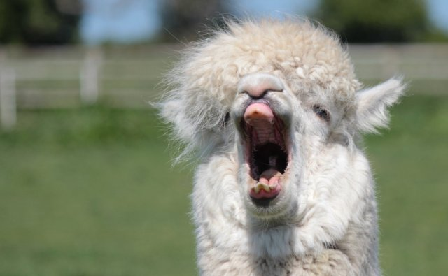 A yawning alpaca (humming is done with a closed mouth)