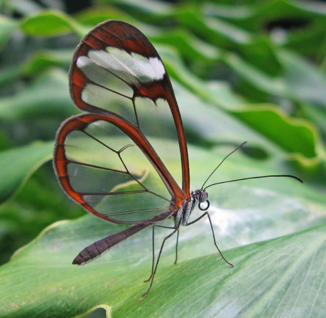 The see-through glasswing butterfly photographed by David Tiller on Wikimedia Commons